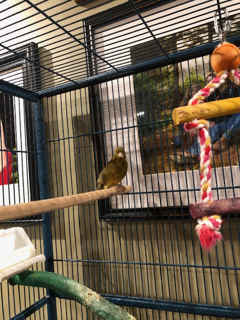 Petey, our male singing Canary